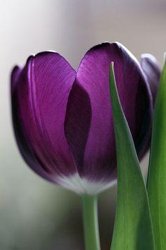 Purple tulip .... ♥♥ ....