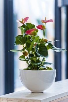 Pink anthurium flowering display in shiny white pot