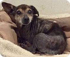 Ft Myers Beach, FL - Terrier (Unknown Type, Small)/Chihuahua Mix. Meet Urgent!!! Please read, a dog for adoption. http://www.adoptapet.com/pet/17723429-ft-myers-beach-florida-terrier-unknown-type-small-mix