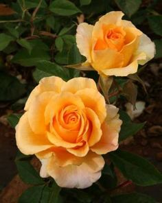 Solero Roses Perth, WA - The Swiss Rose Garden Nursery