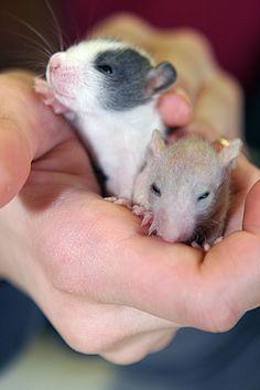 Cute rat overload