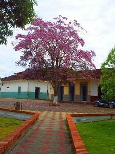 Guayacán Rosado (parque Principal). Cundinamarca
