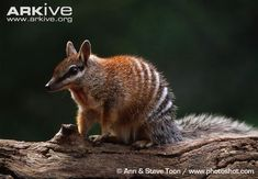 The numbat is a small carnivorous marsupial from Australia, and the only member of the family Myrmecobiidae. It is a specialised termite-eater and is easily recognised by its slender, graceful body...