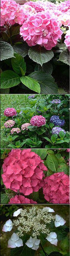 Гортензия (Гидрангея), (Hydrangea). Описание, виды и уход за гортензией | Сад и огород | Постила