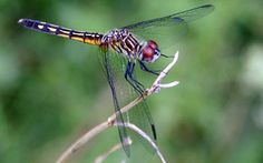 Dragonflies, damselflies and skimmers: what they do for a garden and how to attract or support them.
