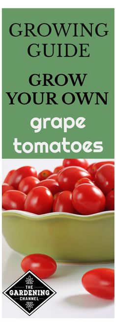 Growing your own tomato plants is easy to do and a great way to enjoy fresh, organic tomatoes. Best Secrets on How To Grow Tomatoes Ideas. Growing Tomatoes In Containers, Growing Grapes, Growing Vegetables, Grow Tomatoes, Tomato Seedlings, Tomato Plants, Gardening For Beginners, Gardening Tips, Organic Gardening