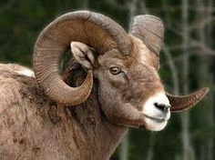 Bighorn Sheep...a definite treat to spot one (or more) in the Rockies and in Zion Nat'l Park