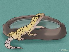 How to Care for a Leopard Gecko (with Pictures) - wikiHow