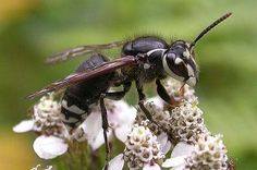 Bald Faced Hornet  | Call A1 Bee Specialists in Bloomfield Hills, MI today at (248) 467-4849 to schedule an appointment if you've got a stinging insect problem around your house or place of business! You can also visit www.a1beespecialists.com!