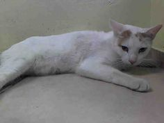 Pulled by Anjellicle Cat Rescue: MAX - ID#A1013706 - NYC ACC - I am a neutered male, white and cream tabby Domestic Shorthair. I am about 2 yrs old. I weigh 12 lbs.MAX sadly has a severe fracture of his left tibia. The ACC vet has poor MAX on pain meds. Despite all that, MAX is a super loveable guy and would love to have someone take him home and give him a chance to recover from his injuries. MAX needs out of the shelter NOW and right to a competent vet for a full checkup