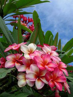 Plumeria Flower of Love & Aloha - a gallery on Flickr