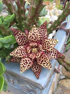 Ahhh, the smell of of dead meat but the beauty makes it worth it Succulents In Containers, Cacti And Succulents, Planting Succulents, Cactus Plants, Planting Flowers, Weird Plants, Unusual Plants, Exotic Plants, Cool Plants