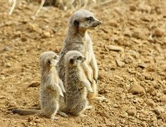 Just a Few Interesting Things I Learned About Meerkat Pups Meerkats, like cats and dogs, give birth in litters. A typical meerkat litter consists of three pups, but they can have as many as five. Especie Animal, Kangaroo, Animal Pictures, Pup, Dog Cat, Cute Animals, Africa, Cats, 21 Days