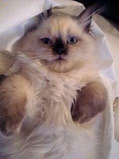 Gigi #persian #himalayan #cat #kitten #kitty