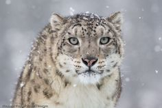 Snow Leopard Pictures Only | posts atom message save snow leopard snow leopard links snow leopard ... Big Animals, Animals And Pets, Snow Leopard Pictures, Snow Images, Bing Images, Ghost Cat, Domestic Cat, Leopards, Animals