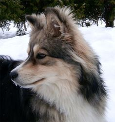 finnish Lapphund photo | finnish lapphund | Lovely pets