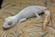 Strophurus ciliaris ciliaris  #lizards #geckos cute