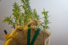 Y Macrame plant hanger using hessian coffee sack (ribbon, event-decor, rosmary, plants) Coffee Sacks, Hessian, Event Decor, Cactus Plants, Plant Hanger, Macrame, Ribbon, Reusable Tote Bags, Crafty