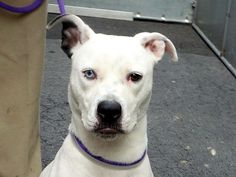 TO BE DESTROYED - 05/13/14 Manhattan Center -P  My name is SKY. My Animal ID # is A0998185. I am a female white and black staffordshire mix. The shelter thinks I am about 2 YEARS old.  I came in the shelter as a STRAY on 04/29/2014 from NY 10301, owner surrender reason stated was STRAY. https://www.facebook.com/photo.php?fbid=800025103343704&set=a.611290788883804.1073741851.152876678058553&type=3&theater