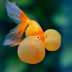 141 Best Gold Fish Images Aquarium Fish Beautiful Fish Goldfish