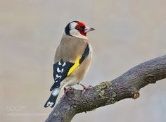 Goldfinch by frank742 #animals #animal #pet #pets #animales #animallovers #photooftheday #amazing #picoftheday