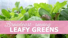 Early sowing of leafy greens, how to grow leafy greens, growing leafy greens in winter, how to use a poly tunnel all year round, how to become self-sufficient on less than 1 acre. All Year Round, Growing Veggies, Harvest Season, Acre, How To Become, Vegetables, Spring, Winter, Green
