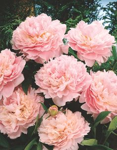 """PEONY Sarah Bernhardt Paeonia latiflora 'Sarah Bernhardt' Height: 30-36"""" Spread: 30-36"""" Flowers: Appleblossom pink, double Blooms: 2-4 weeks, starting June Zone: 3-8 Soil: Does well in most conditions Additional Information: Good cut flower. Try planting with Catmint, Dianthus and Perennial Grass."""