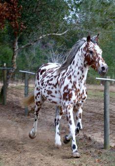 Sla Ulrich Beowulf - Appaloosa Stallion