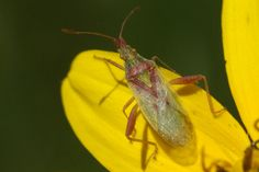 Harmostes reflexulus Insects, Park, Nature, Parks, Naturaleza, Scenery