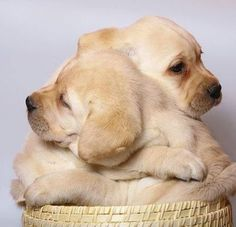 Awww!  Two Golden Retriever puppies in a basket.