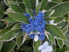 Hydrangea macrophylla 'Variegata'