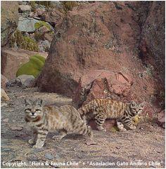 Más tamaños   Gato andino   Flickr: ¡Intercambio de fotos!