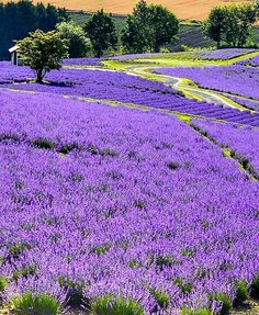 Hokkaido, Japan Wonderful Places, Beautiful Places, Creeping Phlox, Bored At Home, Mount Fuji, Lavender Fields, Spring Is Here, Best Vacations, Wild Flowers