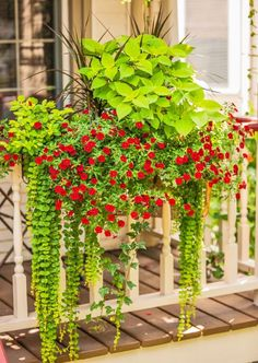 A long planter chock-full of flowers and foliage substitutes for a window box on a porch railing. 'Goldilocks' creeping Jenny, 'Burlesque' pigeon berry, Madagascar dragon tree, calibrochoa and coleus create a lush mix of upright and trailing plants. Container Flowers, Container Plants, Container Gardening, Succulent Containers, Plantas Indoor, Long Planter, Pot Jardin, Window Boxes, Window Box Plants