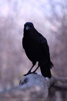 Raven are one of the top 3 most intelligent animals.  Humans, monkeys, ravens.  (PBS special on ravens and how intelligent they are)