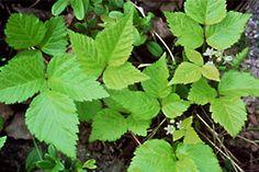 Lillukasta käytetään lehtiä ja joskus myös marjoja. Lehdet kerätään alkukesällä ennen kukintaa, mutta rönsyistä saa satoa myöhemminkin. Lehdet irrotetaan käsin tai saksilla siten, että ruotia tulee mukaan mahdollisimman vähän. Ne kuivataan tuoreena tai hiostettuna Finland, Herbs, Plants, Herb, Flora, Plant, Spice