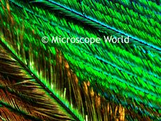 Peacock feather under the microscope at 100x.