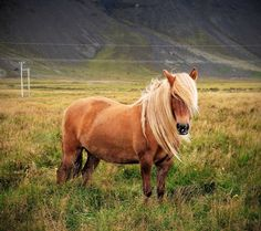 The Icelandic Horse - such a beauty!