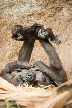 Anne, Lowland Gorilla using her legs to rock her baby. The incredible Gorilla.