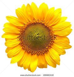 Sunflower 스톡 사진, 이미지 및 사진 | Shutterstock