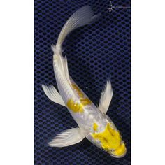 "7"" Doitsu Lemon Hariwake Butterfly Koi"