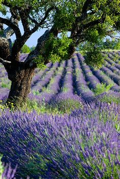 Provence France- lavender fields