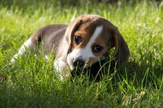 For the cutest 10 week old beagle pics that you ever did see click photo!