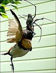 Giant Golden Orb Spider eating a finch