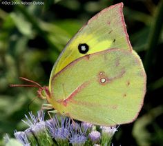 Southern  dogface butterfly. Can you spot the poodle face on the wings?