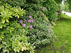 rhododendron hedge - Google Search