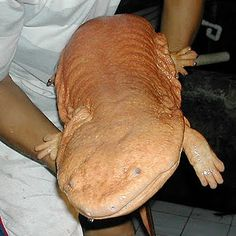 Chinese Giant Salamander - World's largest amphibian has weak eyes but hunts by vibration sense. It is a critically endangered species. Geckos, Ugly Animals, Cute Animals, Strange Animals, Beautiful Creatures, Animals Beautiful, Chinese Giant Salamander, Save Nature, Merian