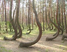"The ""Crooked Forest"" grows near Gryfino, Poland. These pine trees grow with a horizontal bend in their trunks before growing vertically the rest of the way, but the cause of the curvature has yet to be discovered."
