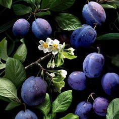eleven plums sweet purple plums don't you dare tease my gums if you do that oh my dears one of you disappears      #plum #plums #fruit #fruits #orchard #garden #violet #purple #nature #food #lifestyle #photo #photography #culinarystories #fun #foodstyling #art #artwork #magic #tale #story #eleven
