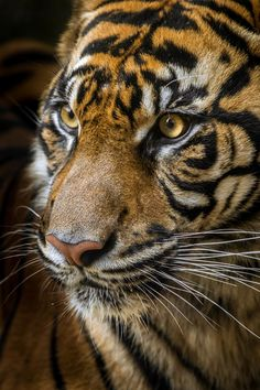 Sumatran Tiger by JSJPhotography - Living Creatures Photo Contest Nature Animals, Animals And Pets, Cute Animals, Wild Animals Photography, Wildlife Photography, Tiger Photography, Ocelot, Big Cats, Cool Cats